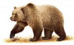 wd=bear